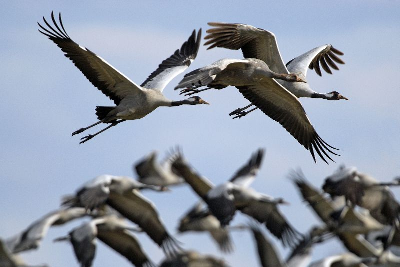 The magnificent gray cranes of the Lac du Der - Image courtesy of Christine Tomasson - Active Champagne